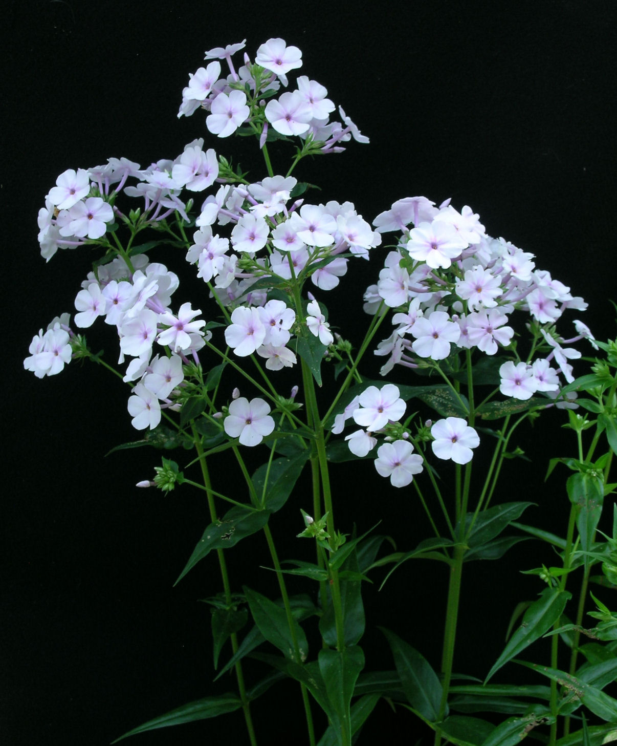 phlox single girls Check out more information about phlox care and explore tips on growing meredith women's billowy panicles of tiny single or double pink or white.