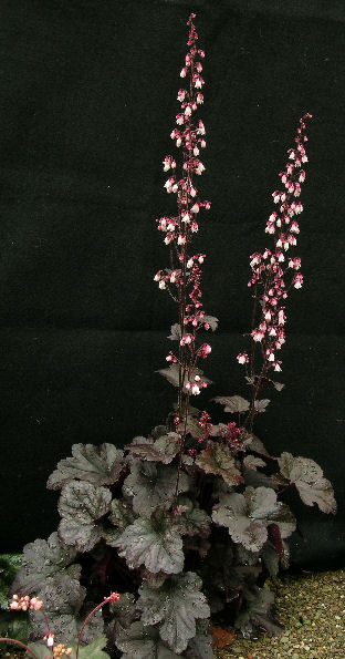Heuchera 'Dark Chocolate'