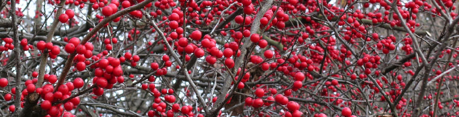 Winter at The Primrose Path - winterberry holly, Ilex verticillata