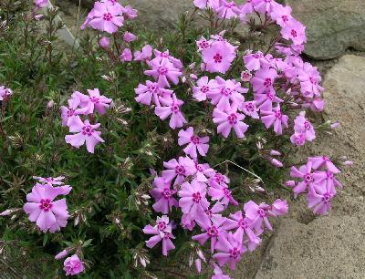 phlox nivalis eco flirty eyes Rose  astronomia ®  , (meiguimov) , alain meilland (france, 2006) , (  sweet pretty  ,  the charlatan .