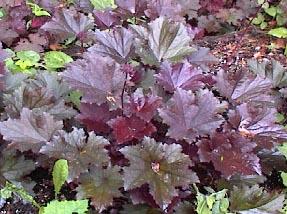 heuchera villosa f purpurea - Heuchera