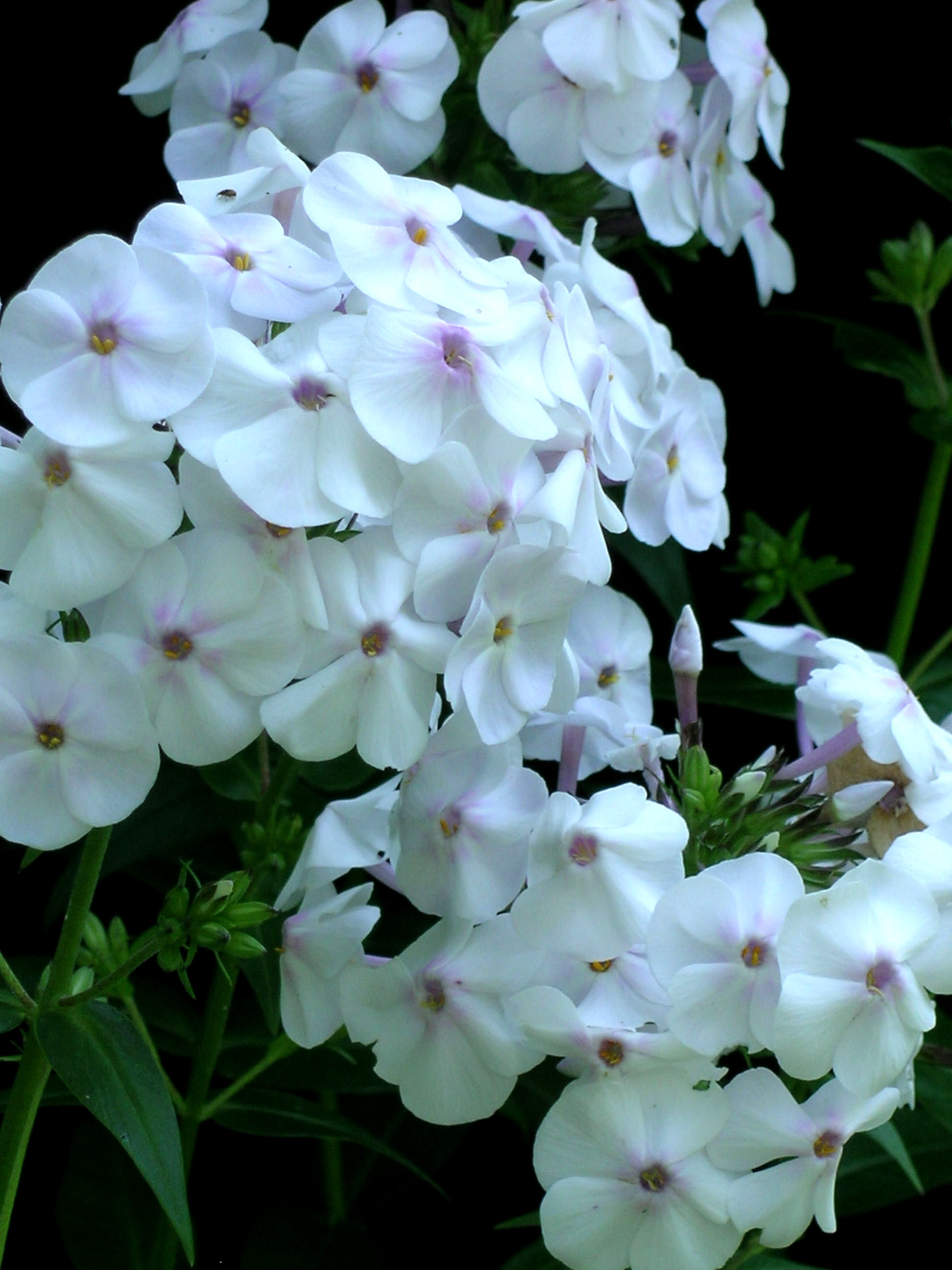 The primrose path whats new phlox daughter of pearl closeup izmirmasajfo